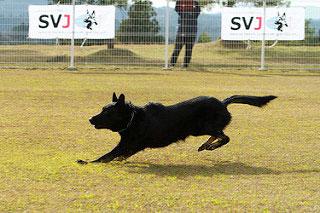ドイツシェパード犬協会、本部展覧会開催
