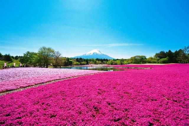 『富士芝桜まつり』観賞と富士山を望む駿河の名所『三保の松原』と『日本平』2日間