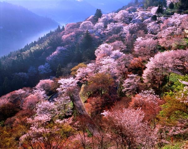 琵琶湖・『海津大崎』のお花見クルーズと奈良・『吉野山』の桜を愛でる2日間