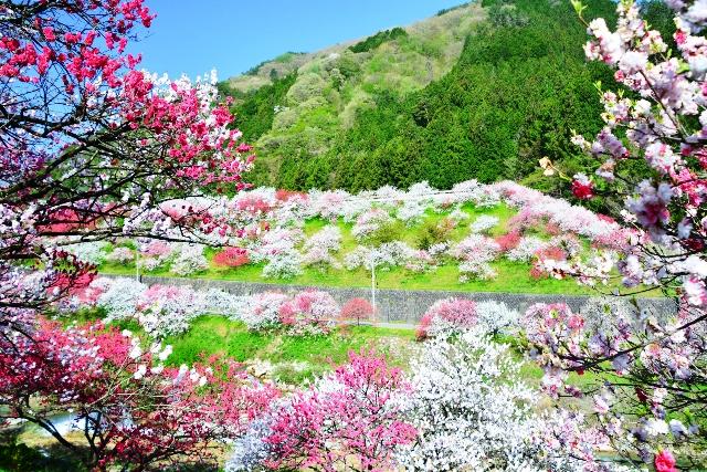 信州・阿智村の『花桃の里』と『郡上八幡』、『うだつの上がる町並み』散策2日間