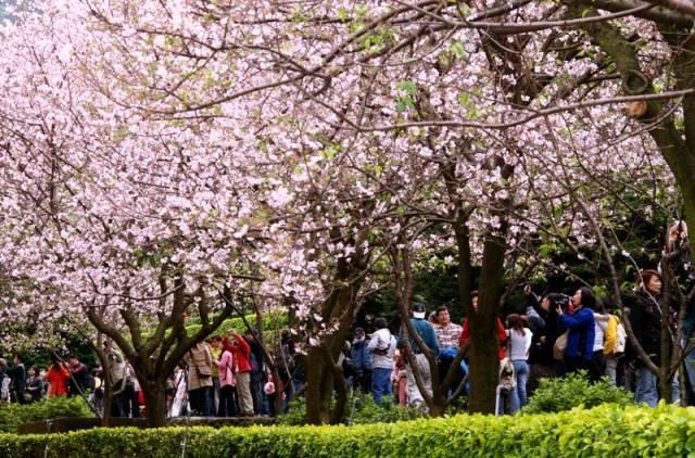 陽明山の桜